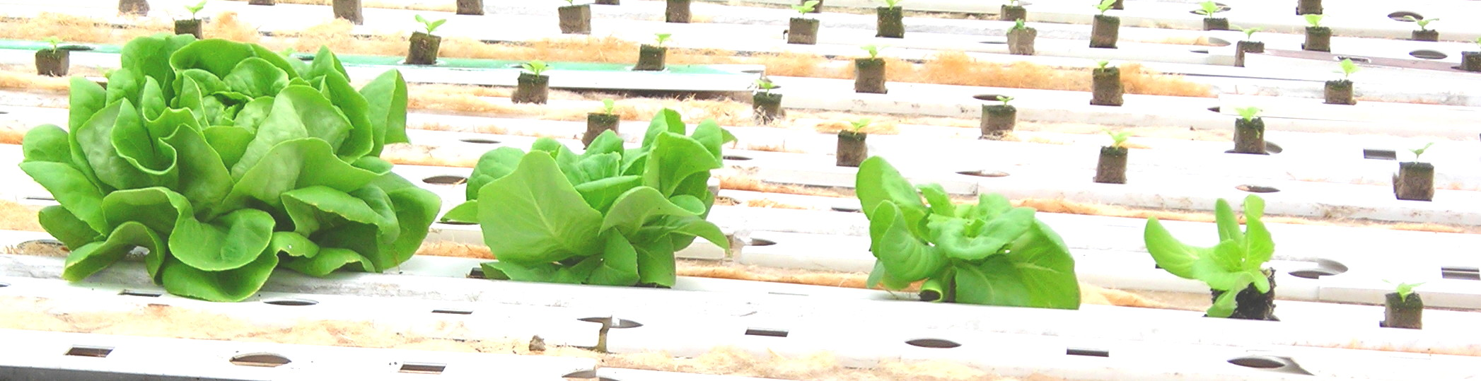 Growing Lettuce    McGregor s Greens from ARC GreenhousesLettuce Growing Stages